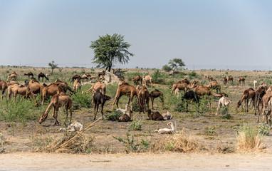 A Herd or Caravan Train of Indian Dromedary Camels Grazing in the Thar Desert