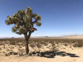 Joshua Tree with brown bending branches and blue sky