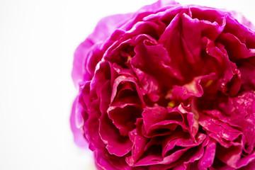 イングリッシュローズ ロゼット咲きの赤いバラ