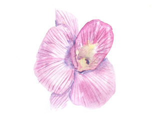 Purple orchid on white, watercolor illustrator