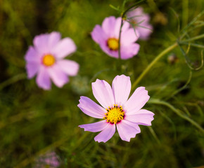 Three pink cosmos flowers background