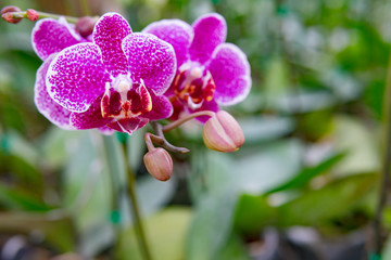 Phalaenopsis orchid flower.Queen of orcid flowers in Thailand in tropical garden