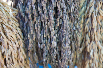 rice grain,rice paddy background,Close up