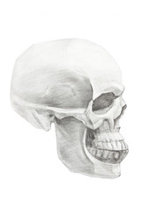 Skull in profile. Drawing of skull isolated on white background