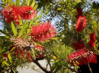Melaleuca citrina, commonly known as common red, crimson or lemon bottlebrush native of Australia
