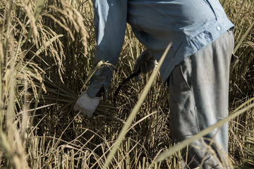 asian farmer in field