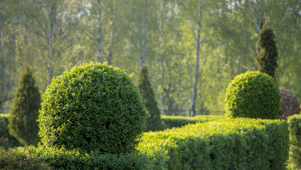Wild Privet Ligustrum hedge nature texture A sample of topiary art