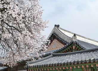 View of the beautiful cherry blossoms at the Gyeongbok Palace in spring in Seoul.