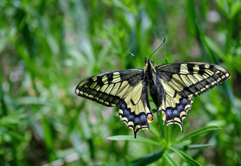 Butterfly on the glade. Bright beautiful butterflies. Swallowtail butterfly, Papilio machaon
