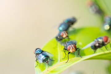 Close up fly,bluebottle on a green leave background. Insect. selective focus