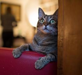 Gatto di casa gioca sulla poltrona