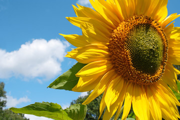 Wonderful sunflower with landscape and summer sky, Lüneburg Heath, Northern Germany. (with copy-space)