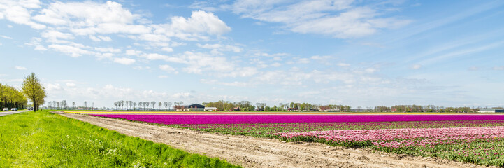 Wall Mural - Colorful pink tulips fields during springtime in the Netherlands