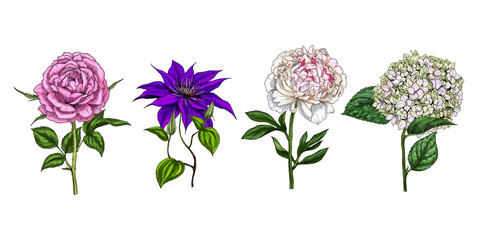 Set of colorful blooming flowers and leaves isolated on white background. Rose, peony, clementis and phlox. Botanical vector. Floral elemets for your design