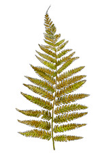 Hand drawn wild plant fern isolated on white background. Botanical element for your design. Herbal illustration.