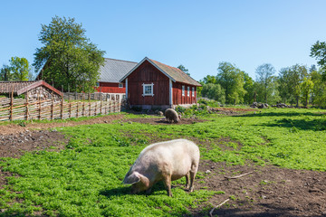 Pigs in a meadow on a summer day in a rural landscape