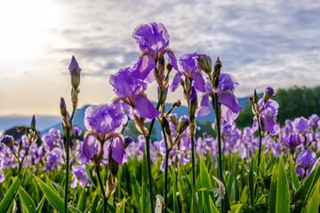 Fond de hotte en verre imprimé Iris Iris pallida sur le champ, gros plan. Provence, France. Lever de soleil.