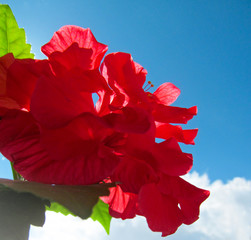 Red flower of Hibiscus (China-rose) outdoors. Beautiful natural blossom with fresh wet petals and green leaves with back lit by bright sunlight on blue sky background.