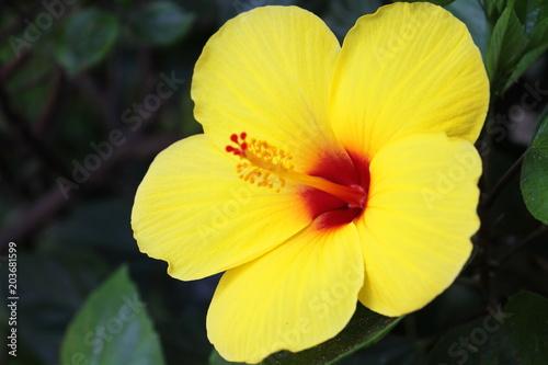 hawaiian yellow hibiscus of hawaii state flower stock photo and