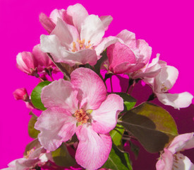 Apple tree branch and blossoms on pink background.  