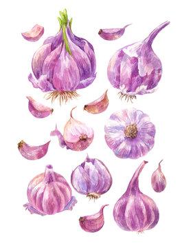 Set of watercolor garlic