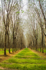 Rubber plantation in the Island phuket Thailand. Tropical zone  Southern