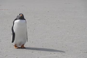 Gentoo Penguin on beach, Saunder's Island, the Falklands