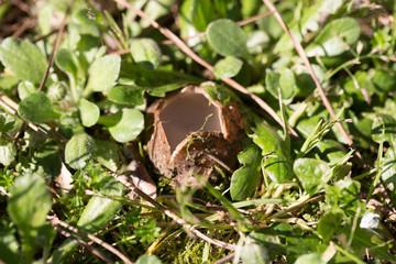Spontnus mushroom in the grass of a meadow