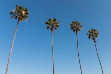 A row of four Washingtonia robusta palm trees in Southern California.