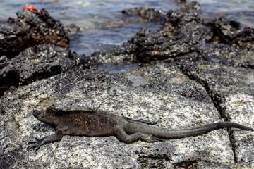 Marine Iguana (Amblyrhynchus cristatus) in Galapagos Islands, Ec