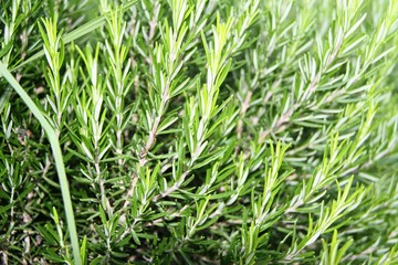 Rosemary healthy herb