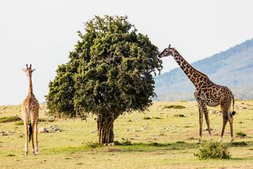 Giraffes in safari park