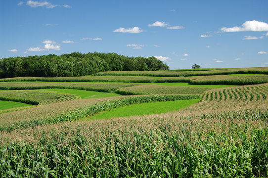 Contour Strip Farming: Rows of corn alternating with strips of small grain or hay follow the contours of a hillside in southern Wisconsin.