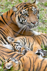 Tiger Family Time