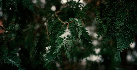 Snow on Green Pine Tree