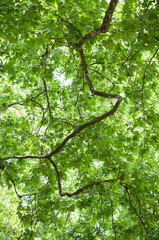 closeup of sunlight in maple tree leaves