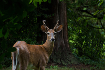 young deer with antlers