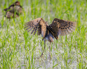 Greater Painted-snipe. ( Rostratula benghalensis ) in the fields of Thailand.