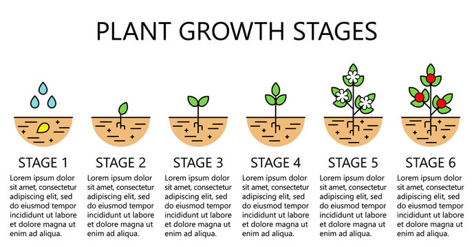 Plant growth stages infographics. Line art icons. Planting instruction template. Linear style illustration isolated on white. Planting fruits, vegetables process. Flat design style.