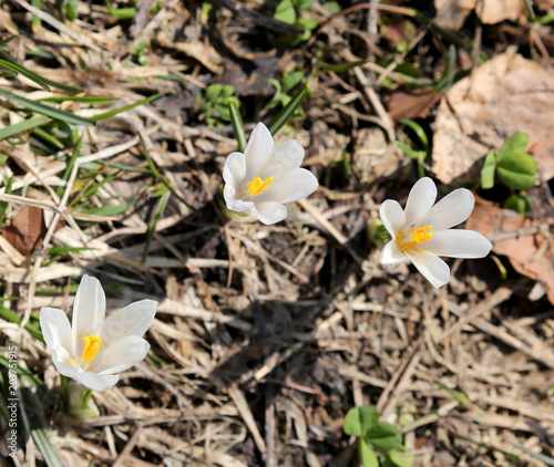 Three white flowers called crocus venus stock photo and royalty three white flowers called crocus venus mightylinksfo
