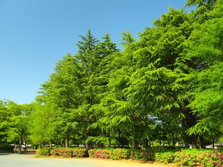 ヒマラヤスギのある公園風景