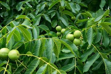 Eastern Black Walnuts