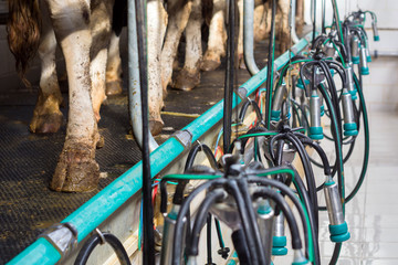 Clean, washed milking equipment hanging on the background of cow's feet
