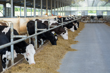 Cows to an open barn are eating silage corn