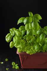 Fresh basil on a dark background. Green basil. Green basil in a pot on a dark background. Food background. A lot of basil leaves. Copy space.