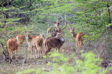 The Sri Lankan axis deer (Axis axis ceylonensis) or Ceylon spotted deer, herd of males in the bush.