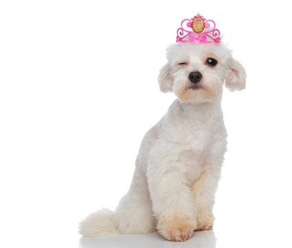 cool princess bichon sitting and winking