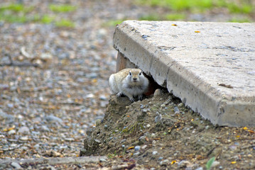 the gopher made a dwelling under a concrete slab