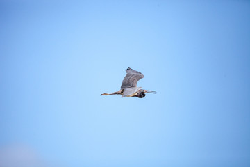 Little blue heron Egretta caerulea flies
