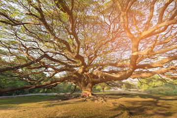 Giant tree in botanic garden tropical jungle Thailand, natural landscape background